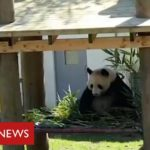 Coronavirus: it's social distancing for the pandas and chimps at Edinburgh Zoo   BBC News