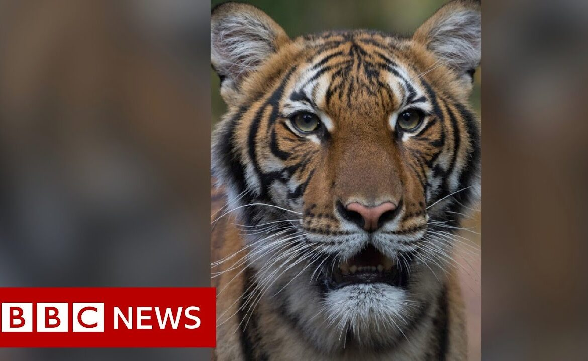 Coronavirus: Tiger at Bronx Zoo tests positive for Covid 19   BBC News