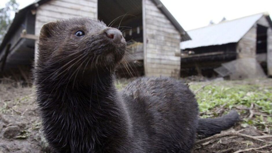 At least 12,000 mink dead as coronavirus spreads among fur farms in Utah and Wisconsin