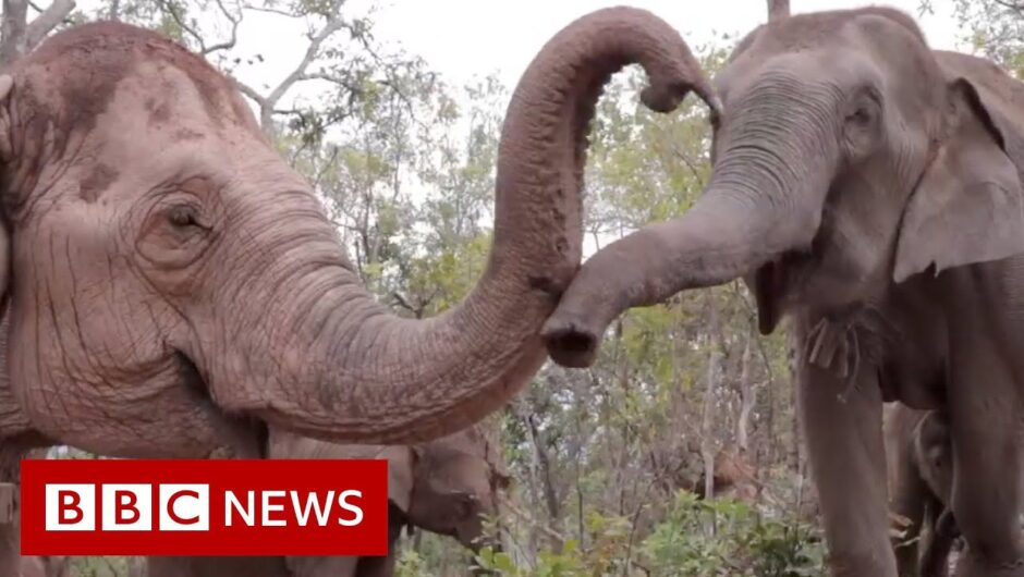 Elephants flee to survive coronavirus starvation   BBC News