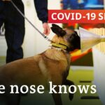 Using dogs to sniff out the coronavirus | COVID 19 Special